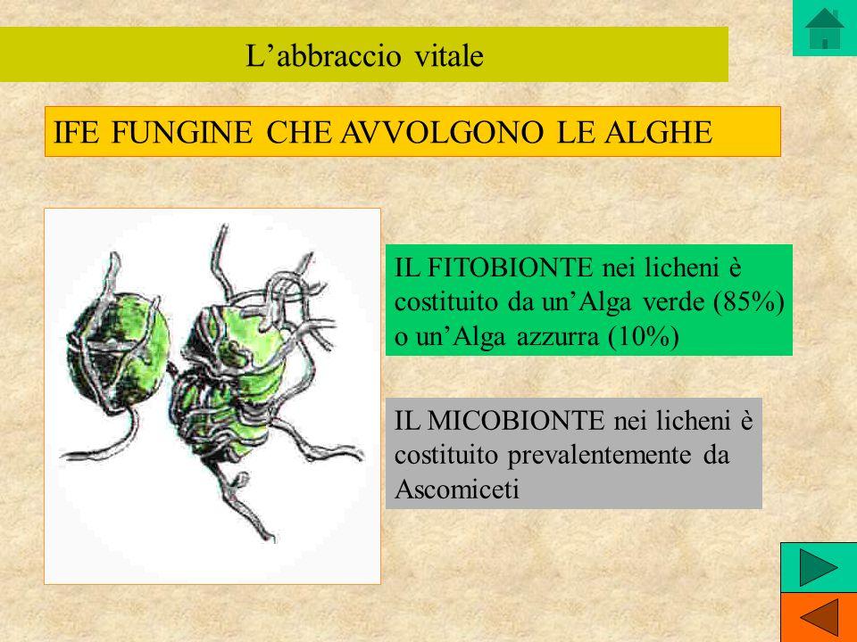 IL FITOBIONTE nei licheni è costituito da unAlga verde (85%) o unAlga azzurra (10%) IL MICOBIONTE nei licheni è costituito prevalentemente da Ascomice