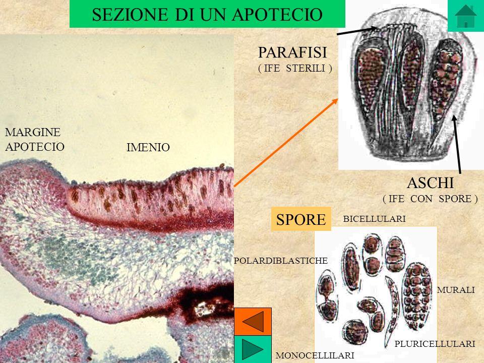 ASCHI ( IFE CON SPORE ) PARAFISI ( IFE STERILI ) IMENIO MARGINE APOTECIO SPORE MONOCELLILARI POLARDIBLASTICHE BICELLULARI MURALI PLURICELLULARI SEZION