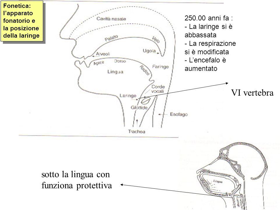 VI vertebra sotto la lingua con funziona protettiva Fonetica: lapparato fonatorio e la posizione della laringe 250.00 anni fa : - La laringe si è abba