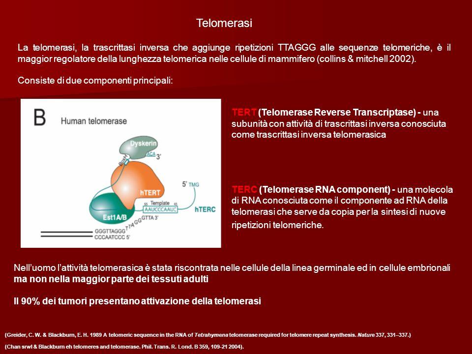 Telomerasi La telomerasi, la trascrittasi inversa che aggiunge ripetizioni TTAGGG alle sequenze telomeriche, è il maggior regolatore della lunghezza t