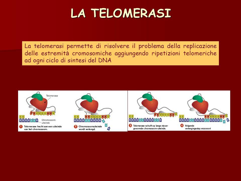 LA TELOMERASI La telomerasi permette di risolvere il problema della replicazione delle estremit à cromosomiche aggiungendo ripetizioni telomeriche ad