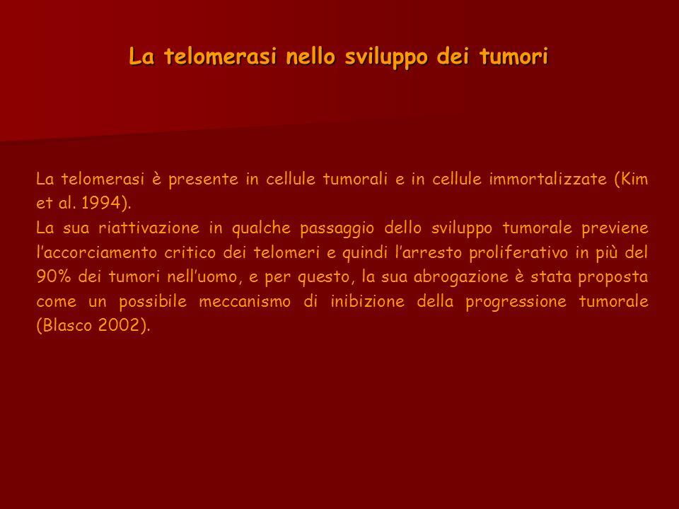 La telomerasi nello sviluppo dei tumori La telomerasi è presente in cellule tumorali e in cellule immortalizzate (Kim et al. 1994). La sua riattivazio