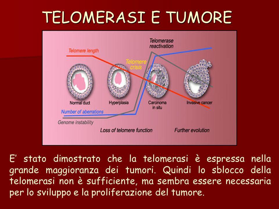 TELOMERASI E TUMORE E stato dimostrato che la telomerasi è espressa nella grande maggioranza dei tumori. Quindi lo sblocco della telomerasi non è suff