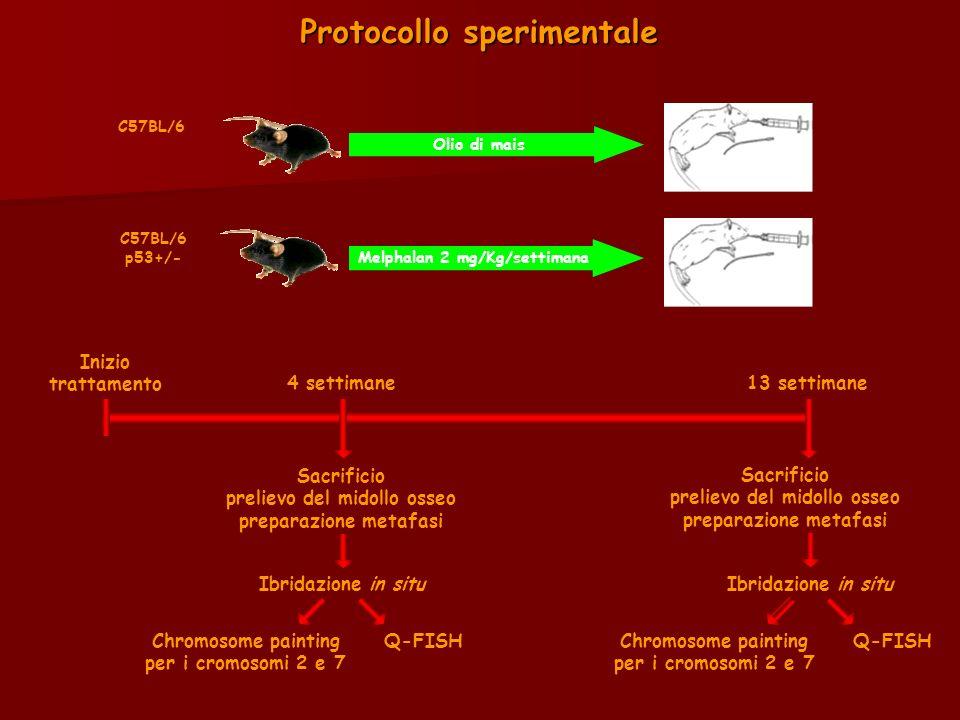 Protocollo sperimentale C57BL/6 C57BL/6 p53+/- Melphalan 2 mg/Kg/settimana Inizio trattamento 4 settimane13 settimane Sacrificio prelievo del midollo