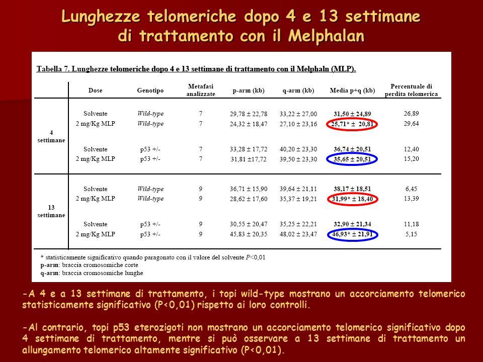 Lunghezze telomeriche dopo 4 e 13 settimane di trattamento con il Melphalan -A 4 e a 13 settimane di trattamento, i topi wild-type mostrano un accorci