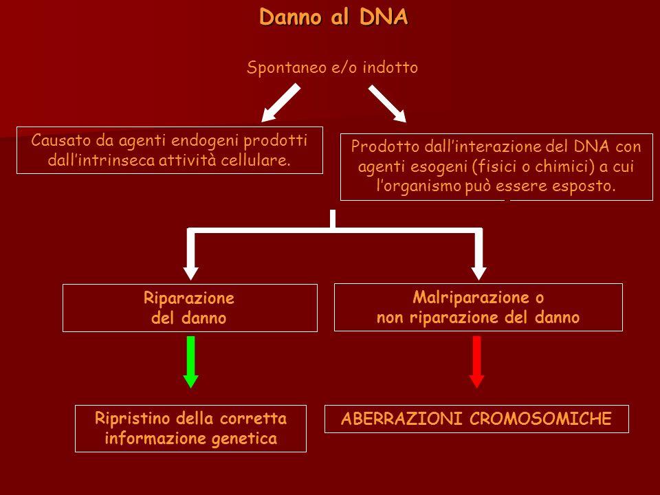 Prodotto dallinterazione del DNA con agenti esogeni (fisici o chimici) a cui lorganismo può essere esposto. Danno al DNA Spontaneo e/o indotto Causato