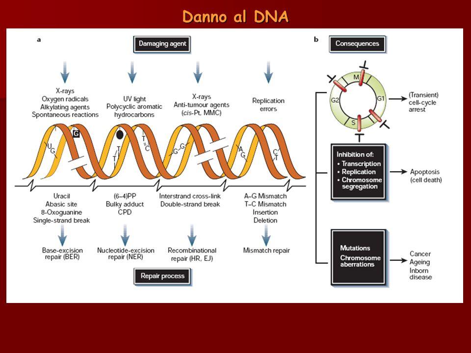 Gli effetti biologici dei danni permanenti nella sequenza del DNA sono essenzialmente sviluppo di tumori, invecchiamento precoce e malattie ereditarie