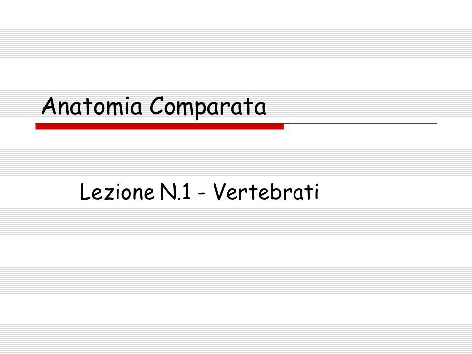 Lezione 1 - Vertebrati12 Stadi di segmentazione in cinque gruppi di cordati.