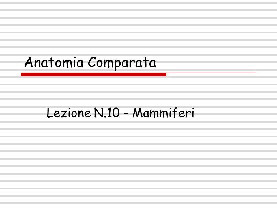 Lezione 10 - Mammiferi22 Mammiferi (Caratteristiche) Prole: Precoce o Atta ( provvista alla nascita di: peli, occhi aperti, capacita di deambulazione) Inetta Deambulazione Plantigrada: Orso, Scimmia, Uomo Digitigrada.