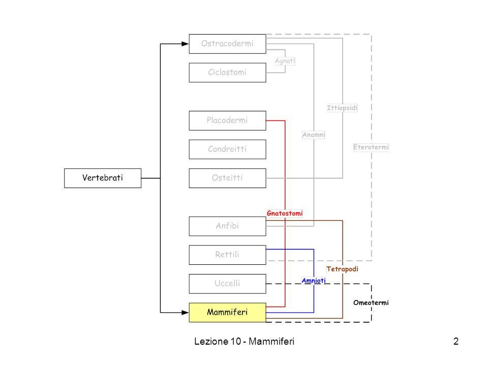 Lezione 10 - Mammiferi13 Mammiferi (Metanefro – Rene definitivo) I nefroni (unita funzionale del rene) sono molto evoluti, si compongono di: 1.Glomerulo di Malpigi.