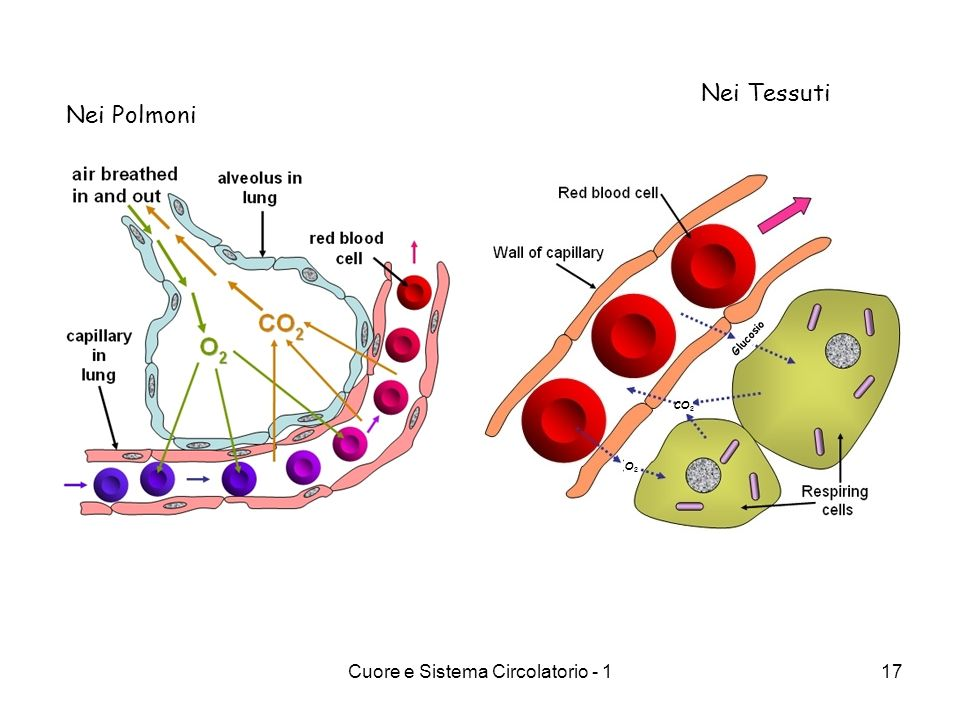 Cuore e Sistema Circolatorio - 117 Nei Polmoni Nei Tessuti O2O2 CO 2 Glucosio