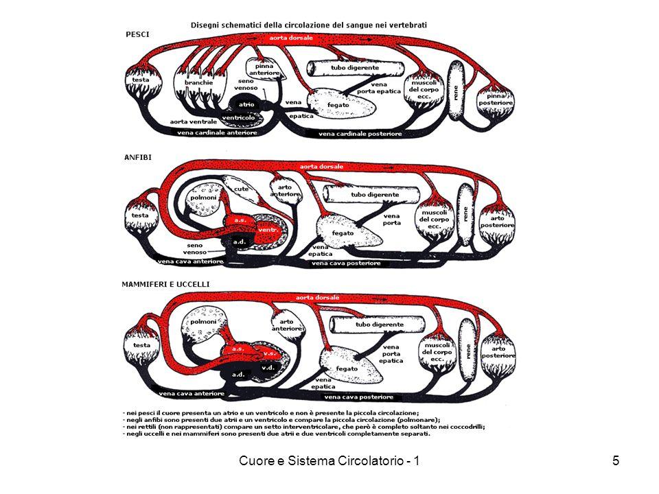 Cuore e Sistema Circolatorio - 15