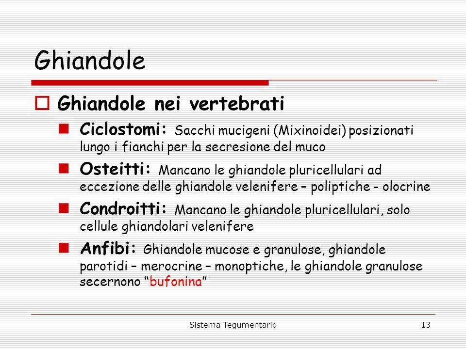Sistema Tegumentario13 Ghiandole Ghiandole nei vertebrati Ciclostomi: Sacchi mucigeni (Mixinoidei) posizionati lungo i fianchi per la secresione del m