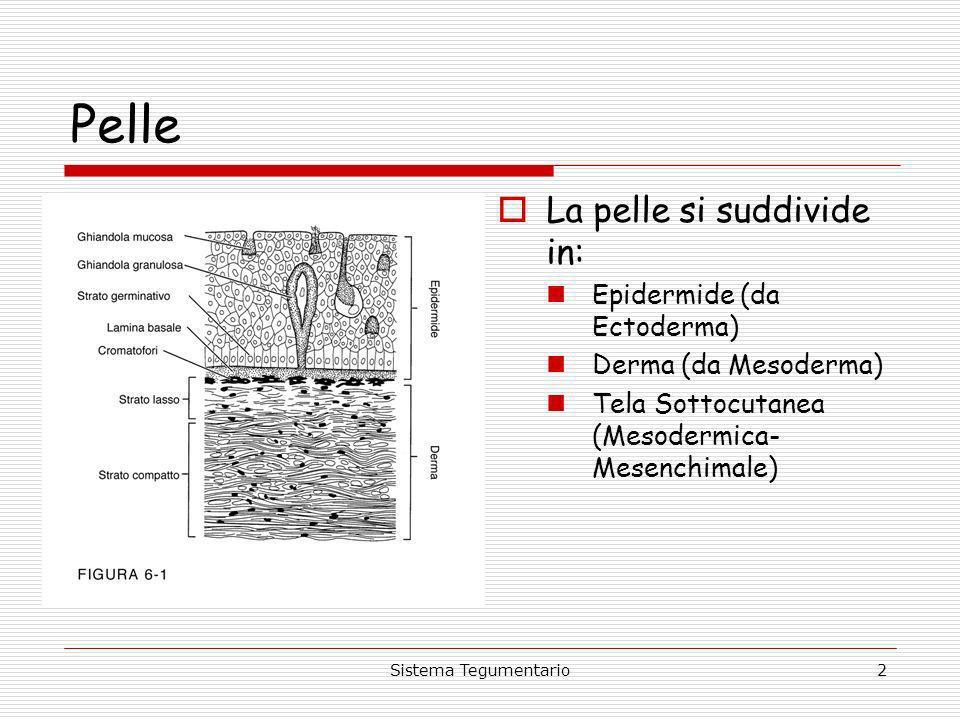 2 Pelle La pelle si suddivide in: Epidermide (da Ectoderma) Derma (da Mesoderma) Tela Sottocutanea (Mesodermica- Mesenchimale)