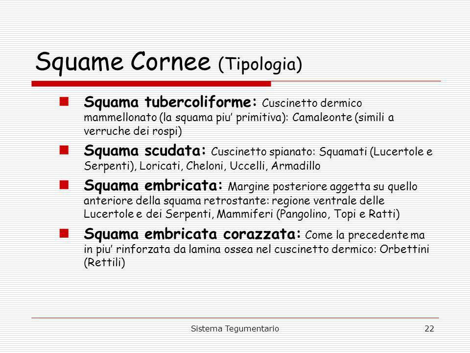 Sistema Tegumentario22 Squame Cornee (Tipologia) Squama tubercoliforme: Cuscinetto dermico mammellonato (la squama piu primitiva): Camaleonte (simili