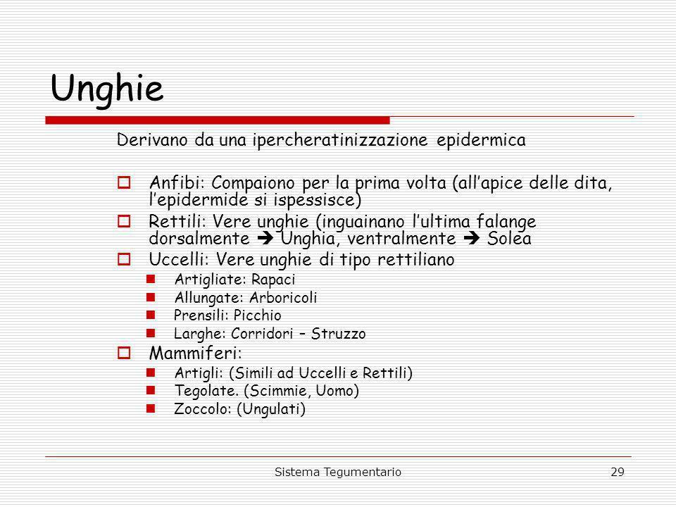 Sistema Tegumentario29 Unghie Derivano da una ipercheratinizzazione epidermica Anfibi: Compaiono per la prima volta (allapice delle dita, lepidermide