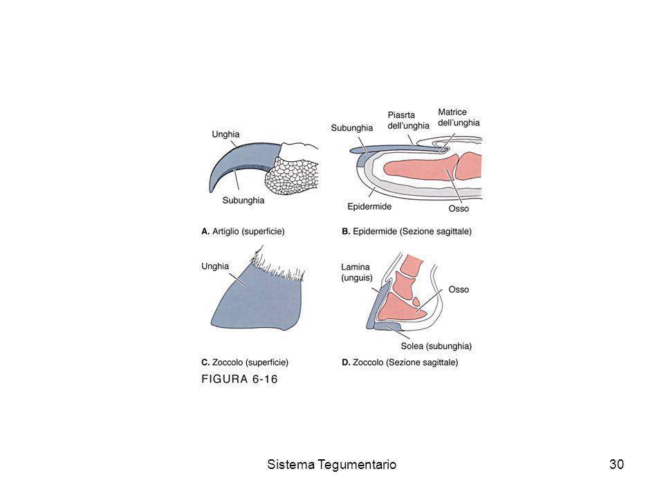 Sistema Tegumentario30
