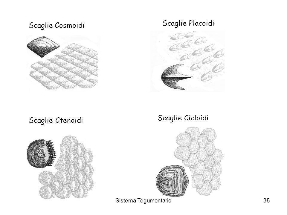 Sistema Tegumentario35 Scaglie Cosmoidi Scaglie Placoidi Scaglie Ctenoidi Scaglie Cicloidi