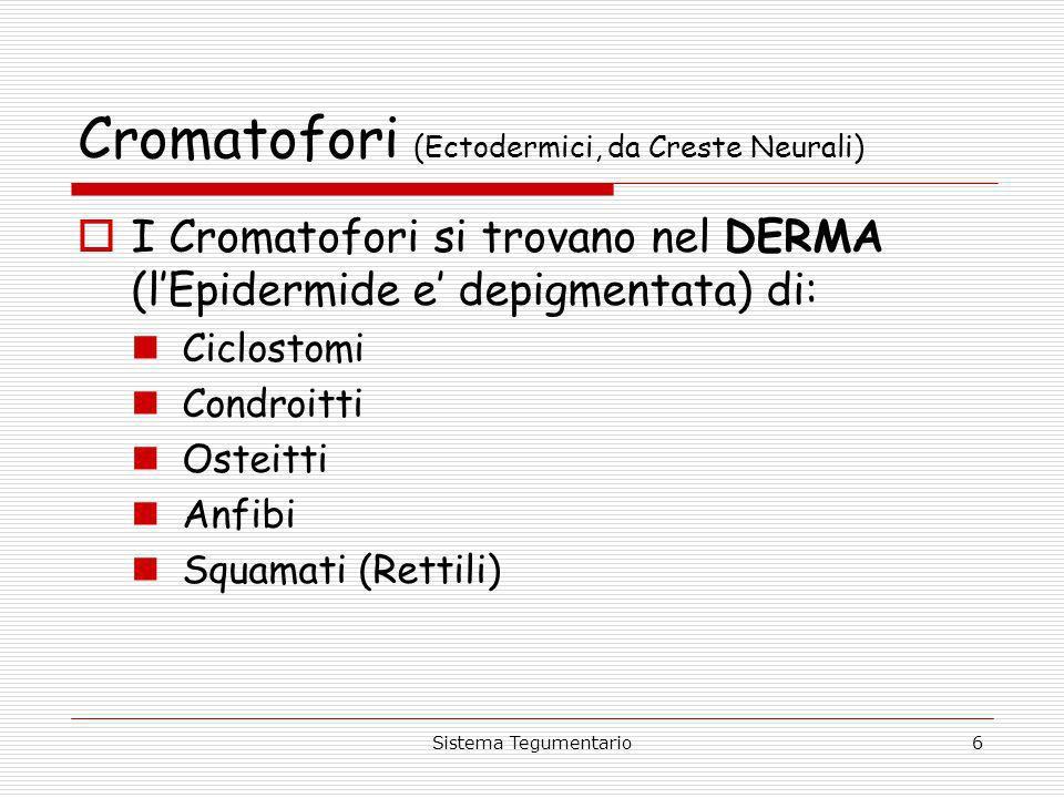 Sistema Tegumentario6 Cromatofori (Ectodermici, da Creste Neurali) I Cromatofori si trovano nel DERMA (lEpidermide e depigmentata) di: Ciclostomi Cond