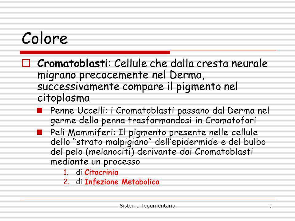 Sistema Tegumentario9 Colore Cromatoblasti: Cellule che dalla cresta neurale migrano precocemente nel Derma, successivamente compare il pigmento nel c