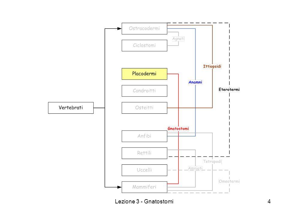 Lezione 3 - Gnatostomi15 Vertebrati - Gnatostomi CONDROITTI – suddivisi in: SELACI o ELASMOBRANCHI Marini, grosse dimensioni, pelle con scaglie placoidi Fessure branchiali senza opercolo Sospensione del cranio iostilica Si suddividono in SQUALOIDEI BATOIDEI