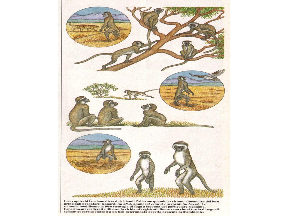 TIPI DI VOCALIZZAZIONE TURSIOPE: Toni Suoni vibrati SibiliLatrati, guaiti SquittiiSchiocchi CERCOPITECO:36 suoni 21 situazioni 22 messaggi FORMICHE: feromoni vibrazioni La comunicazione e i codici: tra i delfini e i primati