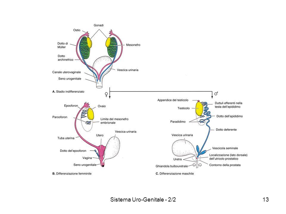 Sistema Uro-Genitale - 2/213