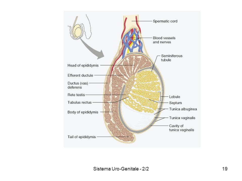 Sistema Uro-Genitale - 2/219