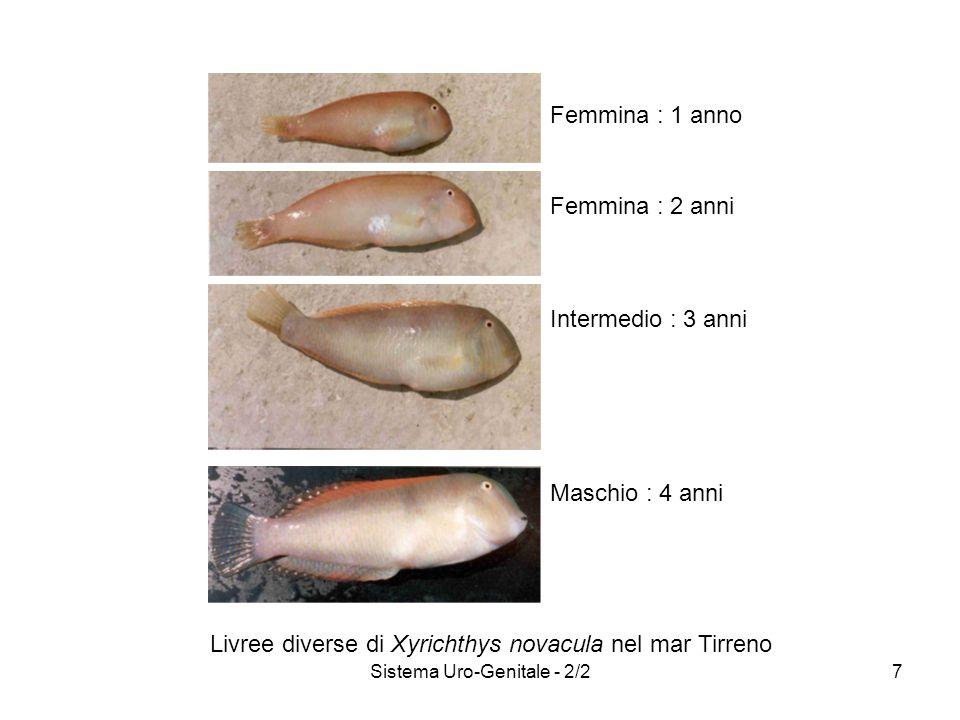 Sistema Uro-Genitale - 2/27 Femmina : 1 anno Femmina : 2 anni Intermedio : 3 anni Maschio : 4 anni Livree diverse di Xyrichthys novacula nel mar Tirre