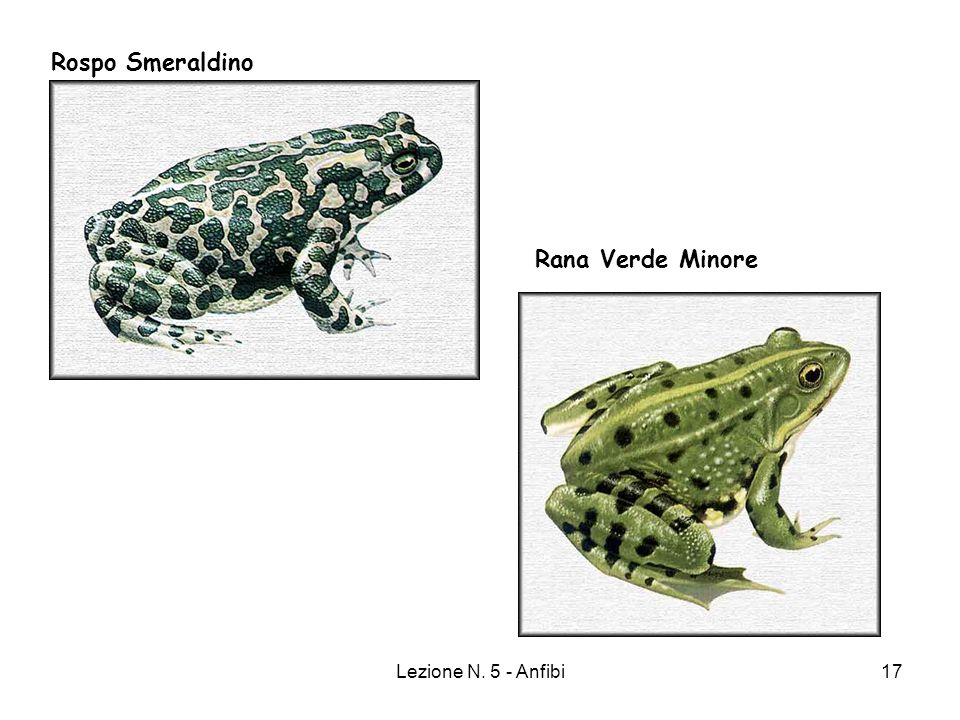 Lezione N. 5 - Anfibi17 Rospo Smeraldino Rana Verde Minore