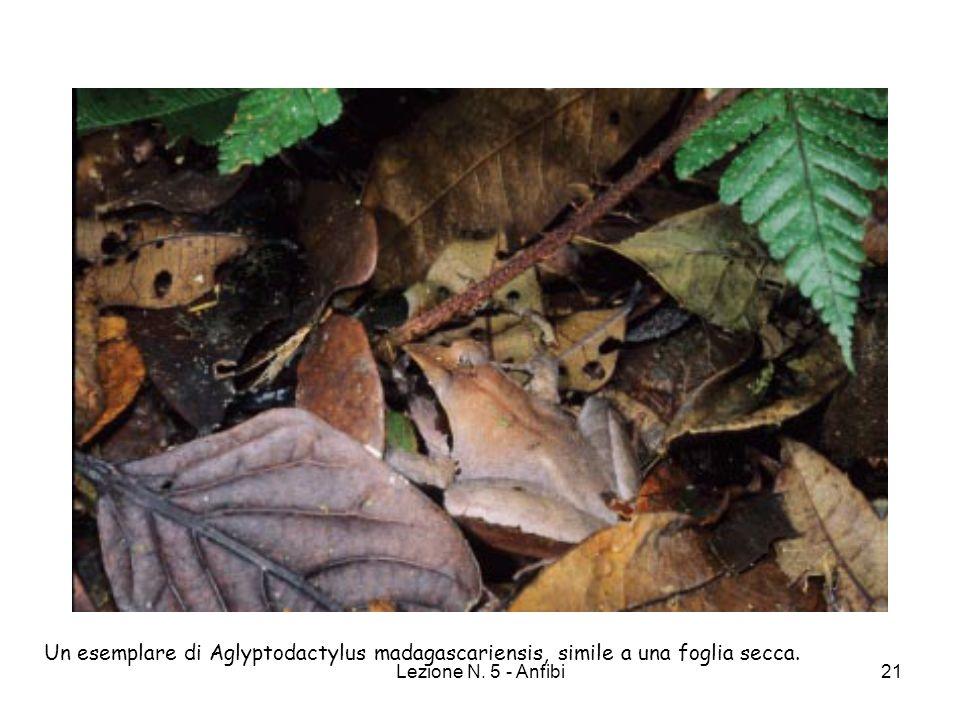 Lezione N. 5 - Anfibi21 Un esemplare di Aglyptodactylus madagascariensis, simile a una foglia secca.