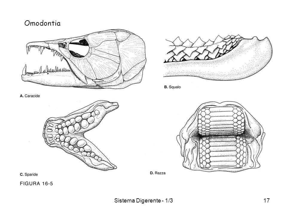 Sistema Digerente - 1/317 Omodontia