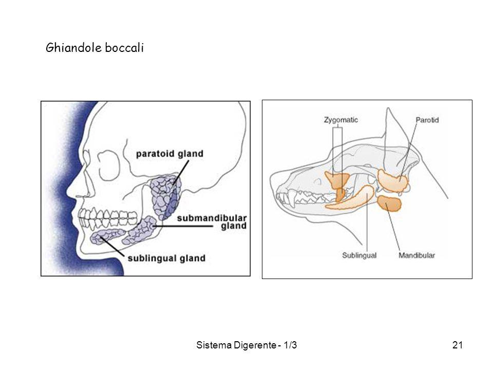 Sistema Digerente - 1/321 Ghiandole boccali