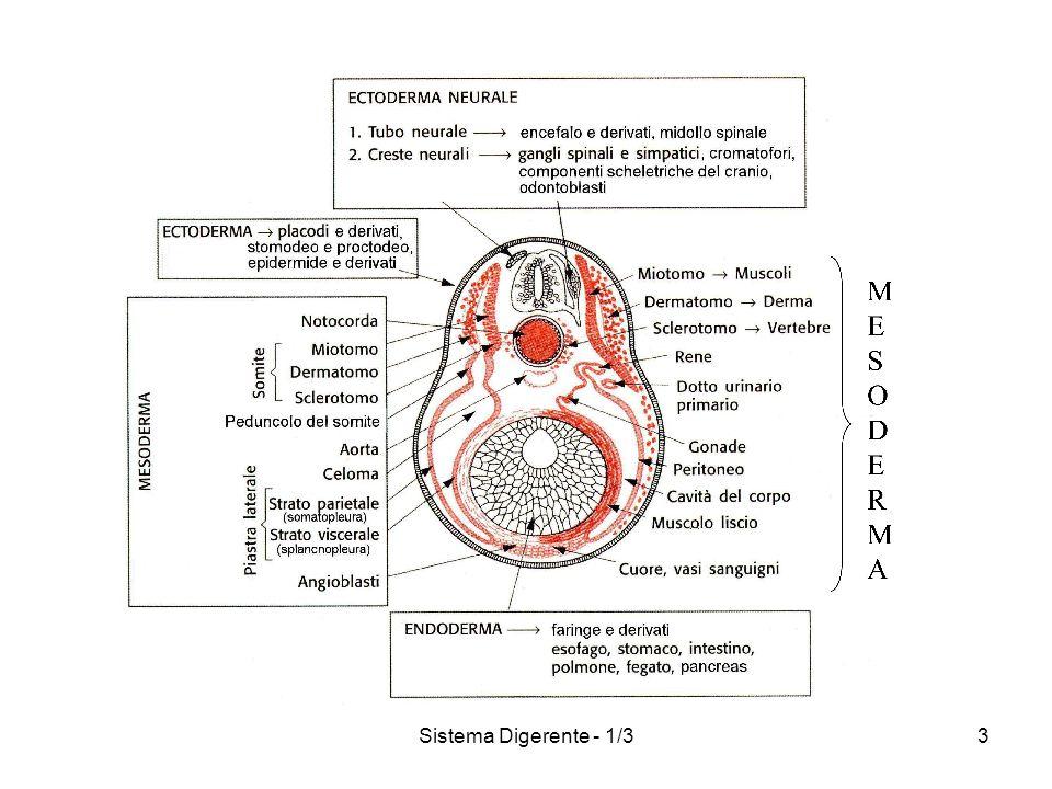 Sistema Digerente - 1/33