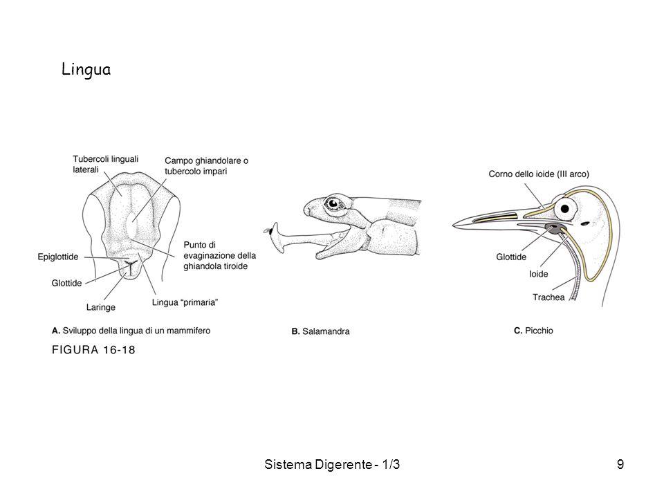 Sistema Digerente - 1/39 Lingua