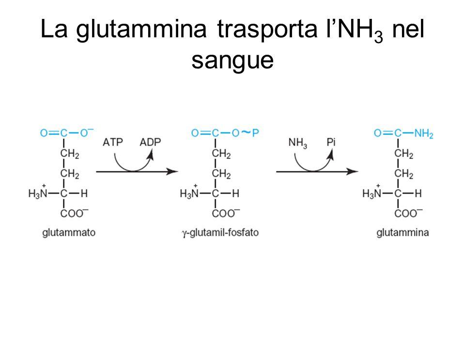 La glutammina trasporta lNH 3 nel sangue