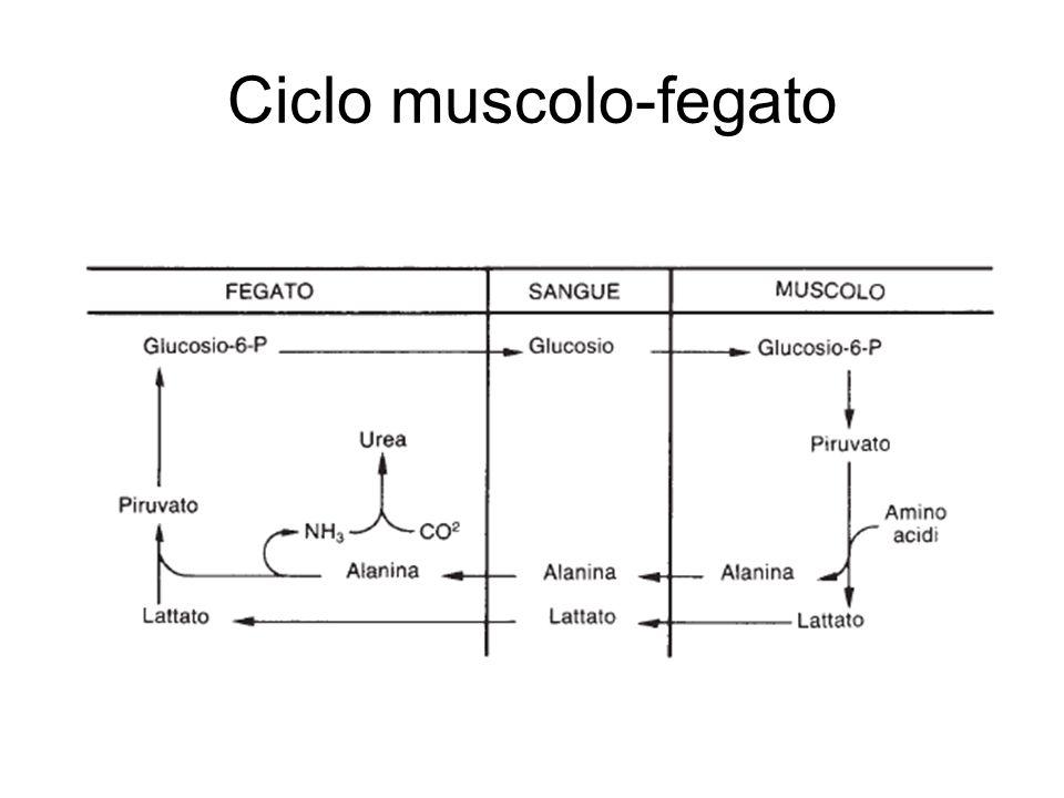 Ciclo muscolo-fegato