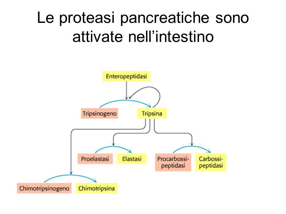 Le proteasi pancreatiche sono attivate nellintestino