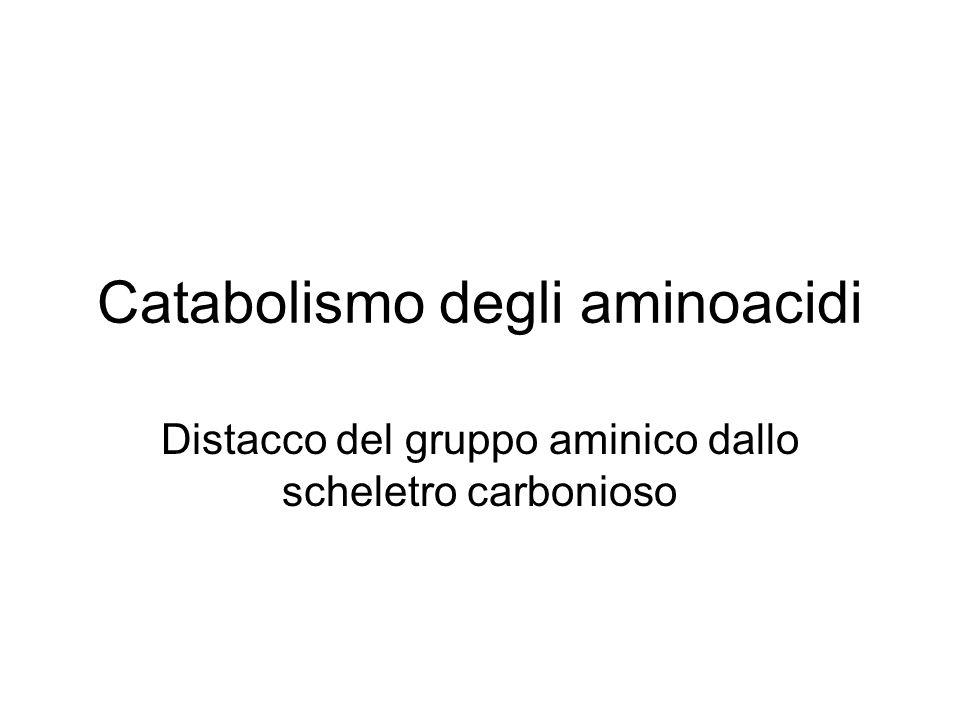 Catabolismo degli aminoacidi Distacco del gruppo aminico dallo scheletro carbonioso