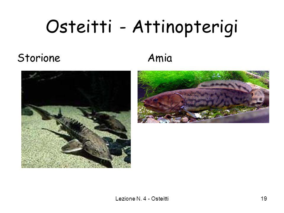 Lezione N. 4 - Osteitti19 Osteitti - Attinopterigi StorioneAmia