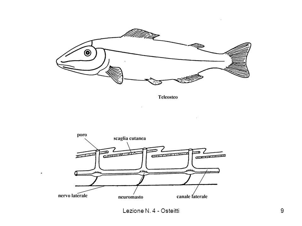 Lezione N. 4 - Osteitti20 Sarcopterigi: dipnoi viventi.