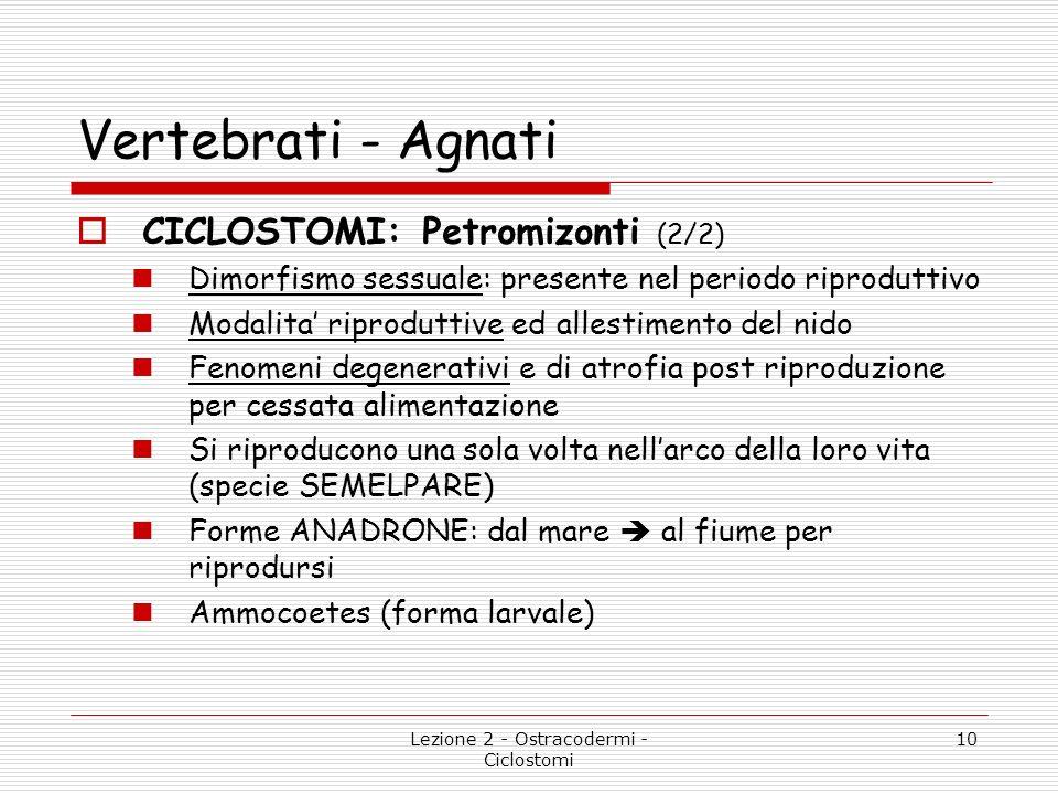 Lezione 2 - Ostracodermi - Ciclostomi 10 Vertebrati - Agnati CICLOSTOMI: Petromizonti (2/2) Dimorfismo sessuale: presente nel periodo riproduttivo Mod