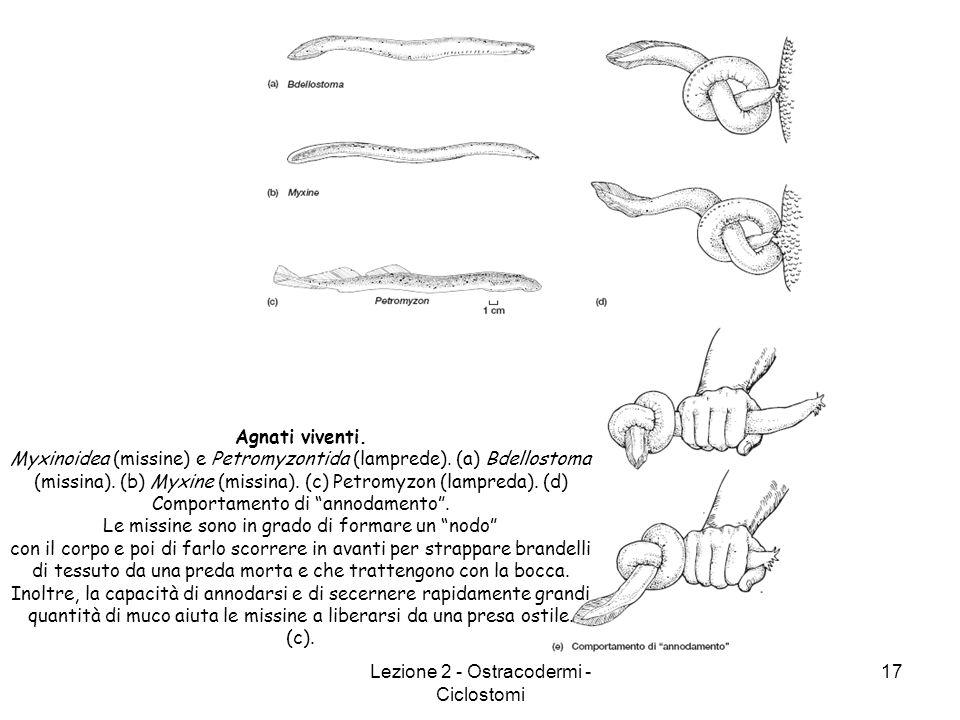 Lezione 2 - Ostracodermi - Ciclostomi 17 Agnati viventi. Myxinoidea (missine) e Petromyzontida (lamprede). (a) Bdellostoma (missina). (b) Myxine (miss