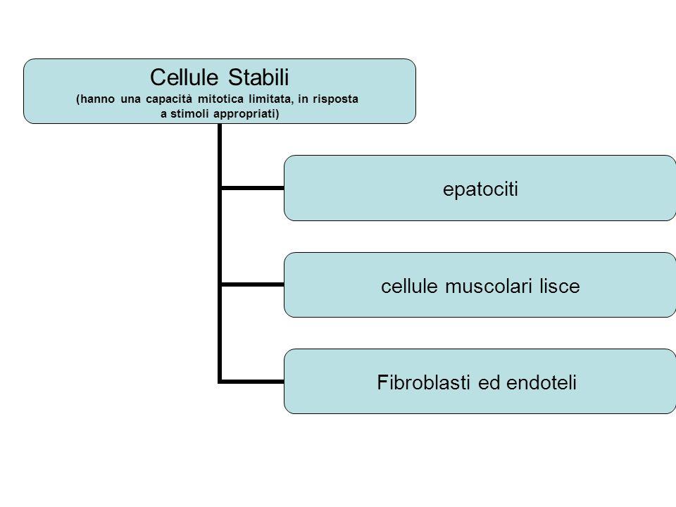 Cellule Stabili (hanno una capacità mitotica limitata, in risposta a stimoli appropriati) epatociti cellule muscolari lisce Fibroblasti ed endoteli