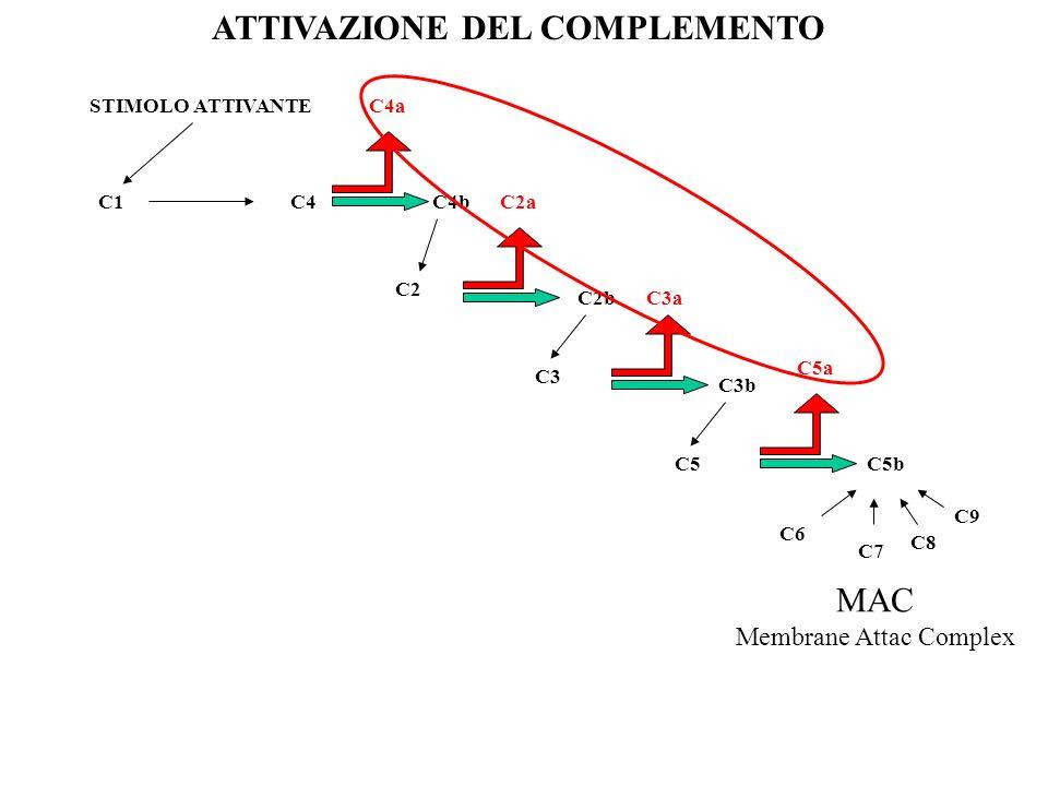 C1 STIMOLO ATTIVANTE ATTIVAZIONE DEL COMPLEMENTO C4 C4a C4b C2 C2a C2b C3 C3a C3b C5 C5a C5b C6 C7 C8 C9 MAC Membrane Attac Complex