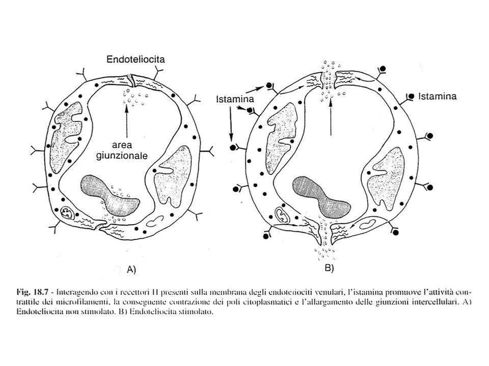 -iperemia (aumento del flusso sanguigno nel distretto interessato) -aumento permeabilità (contrazione degli endoteli) -adesione e rolling (aumento delle selectine su endoteli) -chemiotassi per eosinofili -attiva la secrezione di muco -prurito - attiva la contrazione della muscolatura liscia dei bronchi e dell intestino - stimola secrezione HCl nello stomaco EFFETTI PROANGIOFLOGISTICI LOCALI DELL ISTAMINA