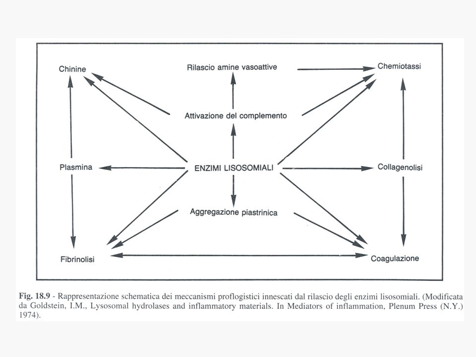 a) Preformati nelle cellule, sequestrati allinterno di granuli e prontamente secreti: amine vasoattive, enzimi lisosomiali b)Neoformati: - rapida neoformazione (minuti): mediatori di origine lipidica (metaboliti dellacido arachidonico), radicali liberi dell O 2, ossido nitrico (NO) - formazione in tempi più lunghi (ore): chemochine e citochine 2) MEDIATORI DI ORIGINE CELLULARE