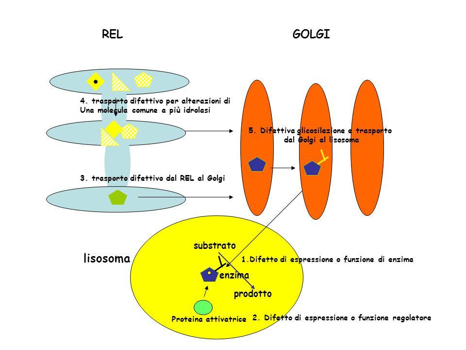 REL substrato prodotto enzima lisosoma Proteina attivatrice 3. trasporto difettivo dal REL al Golgi 4. trasporto difettivo per alterazioni di Una mole