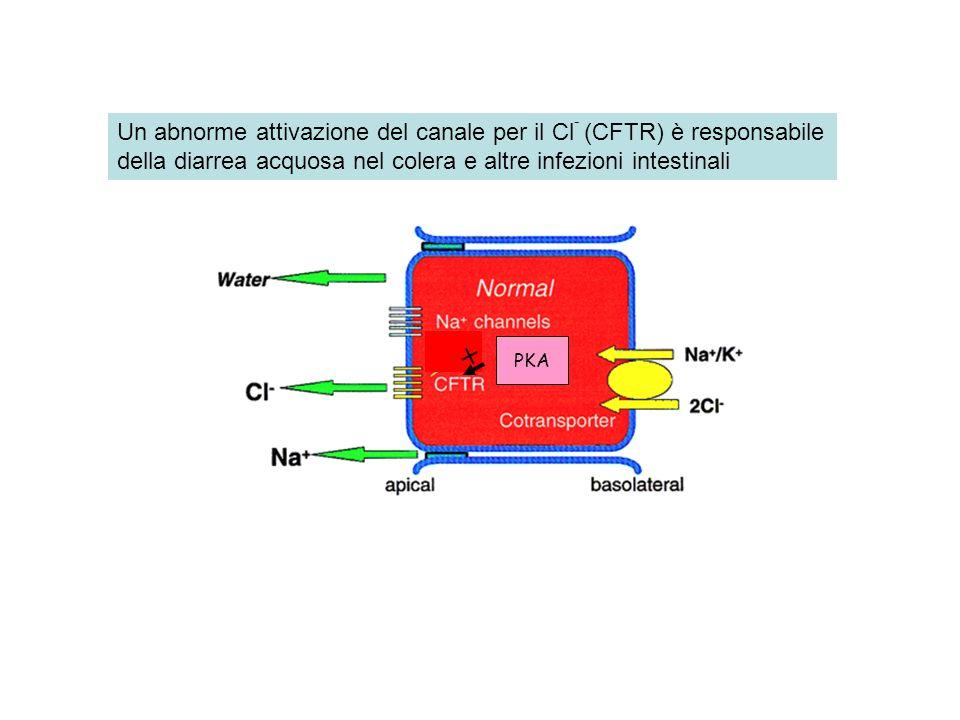 PKA + Un abnorme attivazione del canale per il Cl - (CFTR) è responsabile della diarrea acquosa nel colera e altre infezioni intestinali