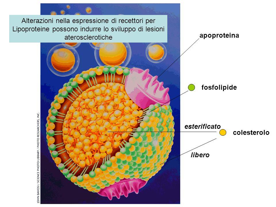 colesterolo libero esterificato fosfolipide apoproteina Alterazioni nella espressione di recettori per Lipoproteine possono indurre lo sviluppo di les